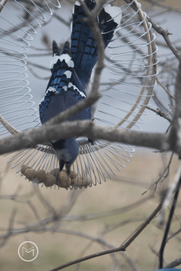 How To Attract Blue Jays To Your Backyard - mother2motherblog
