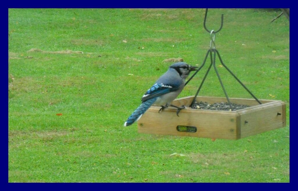 how to attract blue jays to your backyard