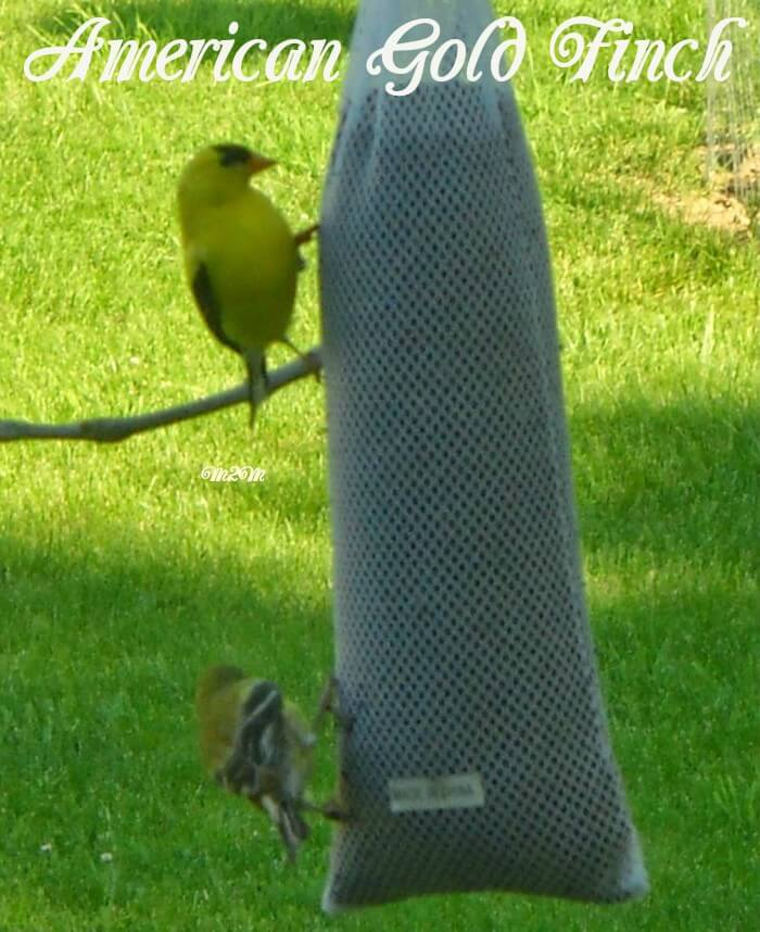 backyard bird, gold finches, American Gold Finch