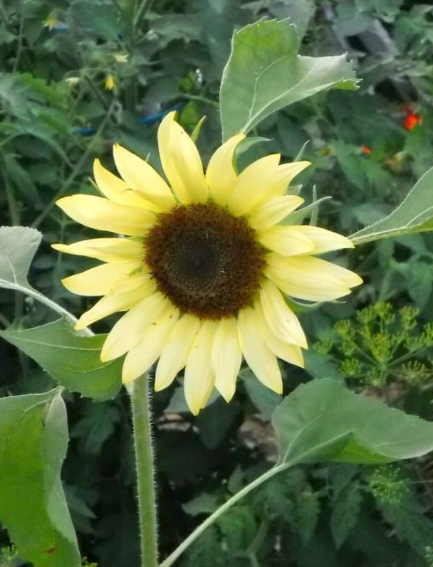 sunflower varieties