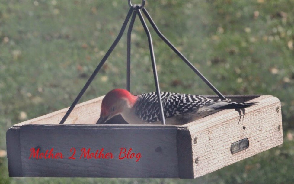 backyard birds, feeding wildlife, woodpeckers