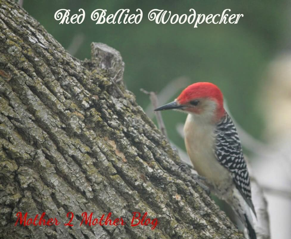 Image-Redbelly-Woodpecker1