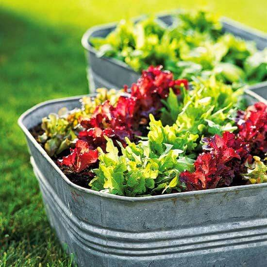 10 Vegetables For Container Gardening