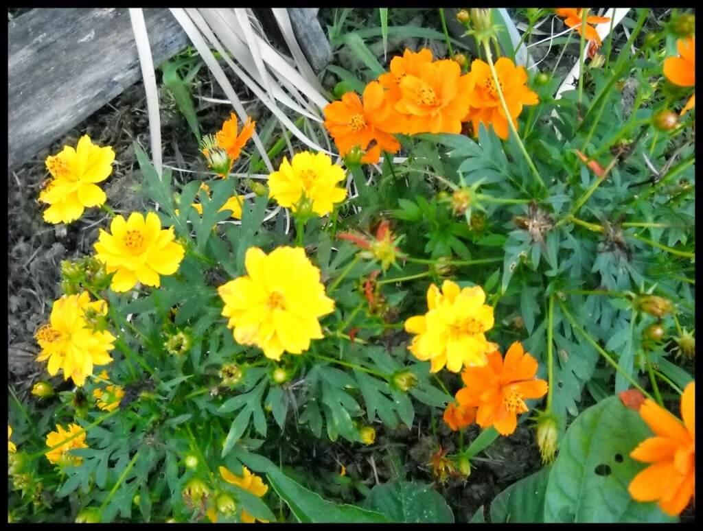 gardening, companion planting