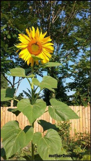 Mammoth sunflowers, sunflowers uses, sunflowers, how to grow sunflowers