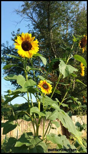 Mammoth Sunflowers, sunflower variety, how to grow sunflowers
