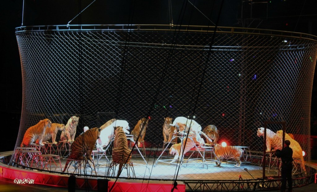 Barnum & Bailey, circus tigers