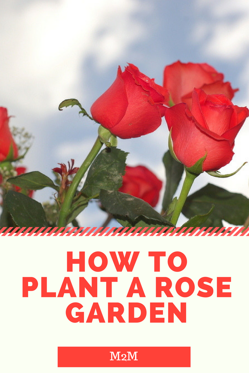 How to plant a rose garden mother2motherblog - When to plant roses ...